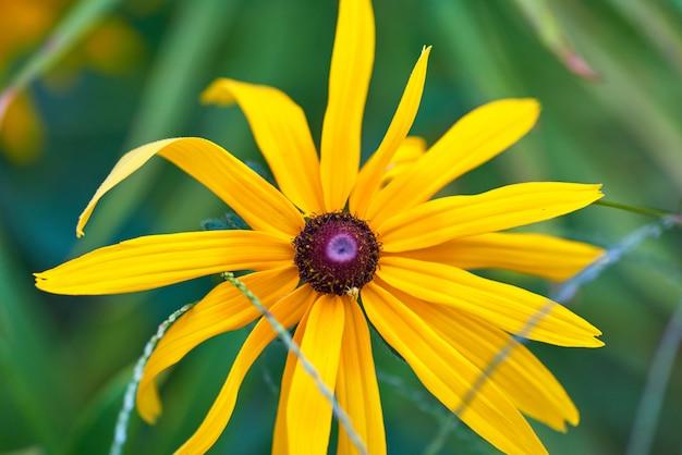 Rudbeckia amarilla, de cerca