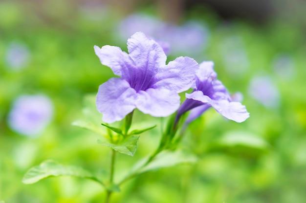 Ruellia tuberosa fondo de flores
