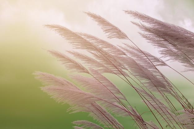 Saccharum spontaneum flor. kans hierba, flor de hierba de caña de azúcar silvestre.