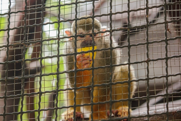 Saimiri sciureus en una jaula es un pequeño mono que se encuentra en américa del sur.
