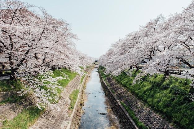 Sakura arbol y canal en japon