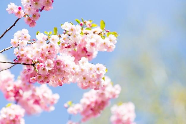 Sakura. cerezo de árbol en el jardín.