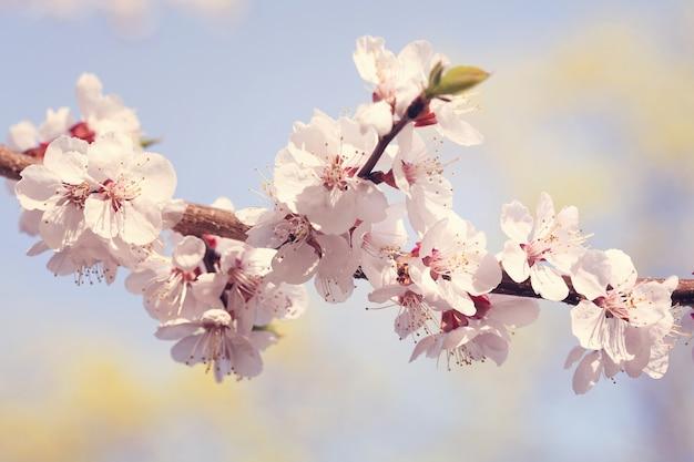 Sakura flor de cerezo hermosa en primavera sobre el cielo azul.