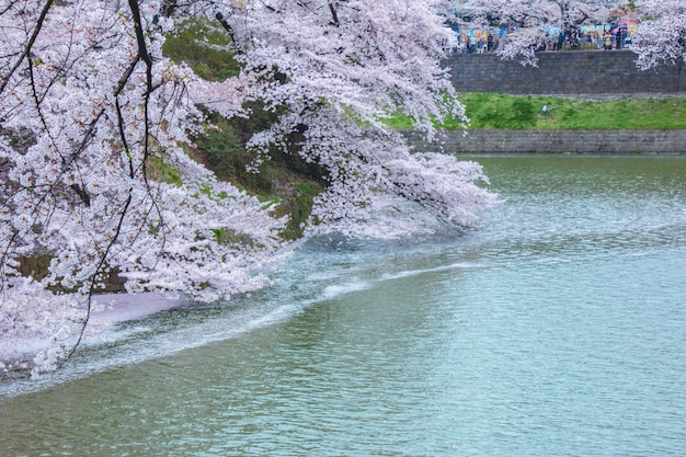 Sakura florece y cae en el canal.