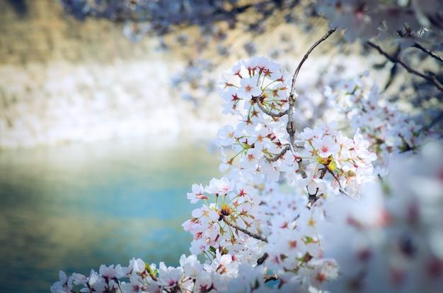 Sakura en foco suave, flor de cerezo rosada brillante en el fondo borroso en japón.