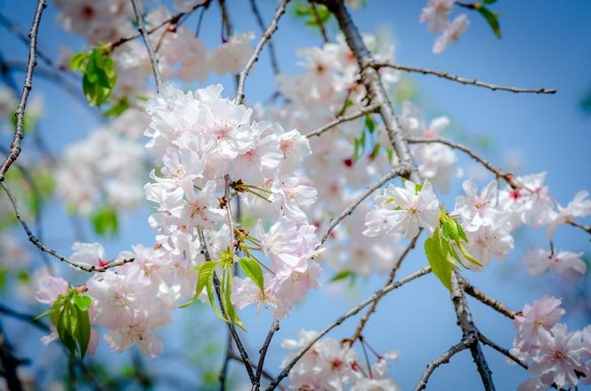 Sakura pink en enfoque suave, hermosa flor de cerezo en japón.