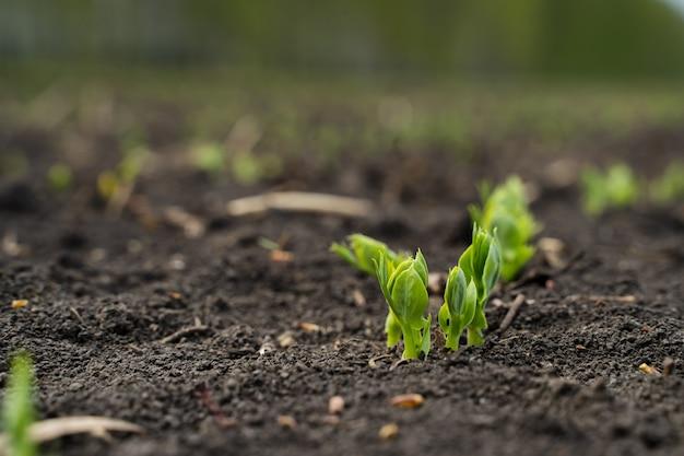Salida de brotes de colza del suelo macro, nueva vida