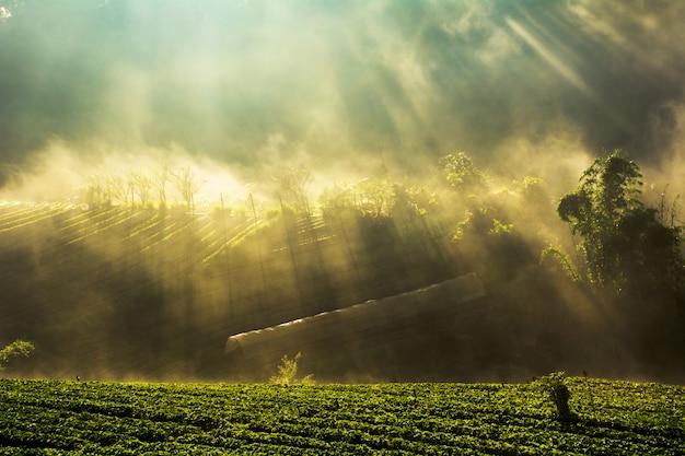 Salida del sol brumosa de la mañana en el jardín de la fresa en el chiangmai tailandia de la montaña del doi angkhang