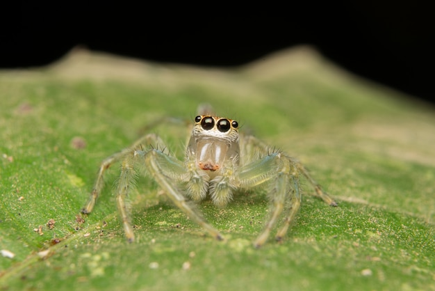 Salto de araña depredador naturaleza hábitat.
