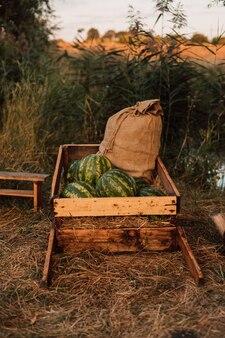 Las sandías se encuentran en un pueblo en la naturaleza cerca del agua.
