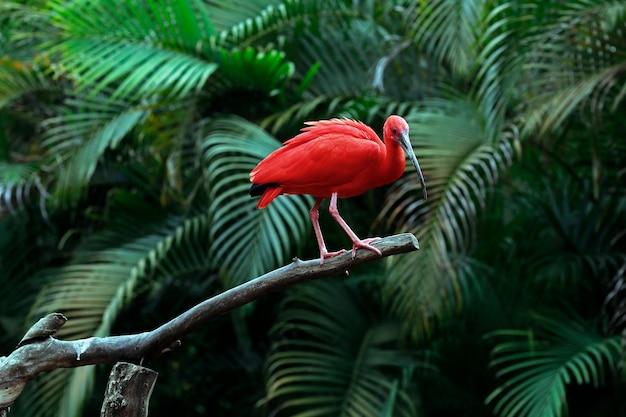 Scarlet ibis closeup en tronco de árbol