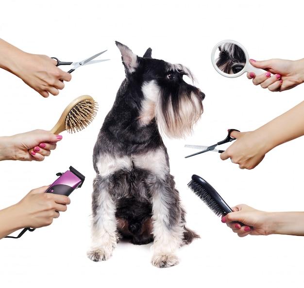 Schnauzer cachorro y manos con diferentes herramientas de peluquería aisladas en blanco