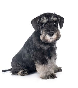 Schnauzer miniatura cachorro