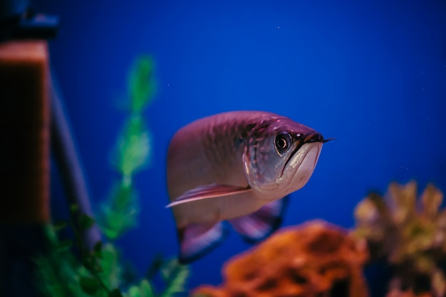 Scleropages jardini flota entre algas y corales. un gran pez rosa brillante.