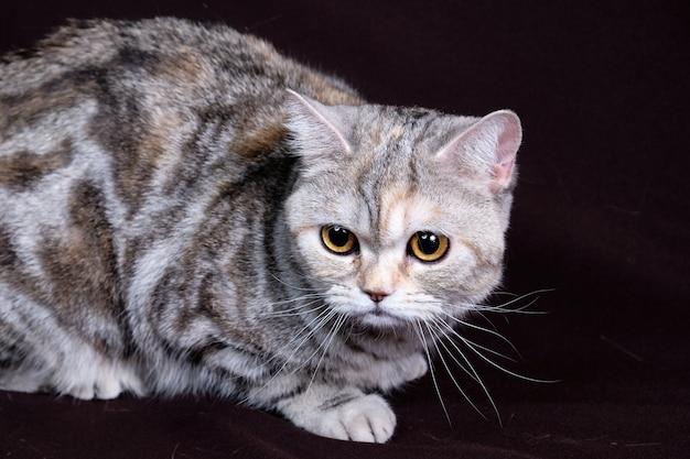 Scottish fold cat marble en plata, retrato sobre un fondo oscuro.