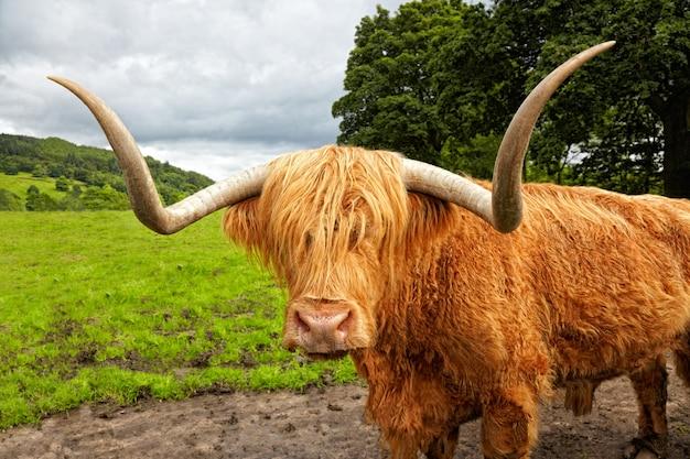 Scottish highland ganado en el prado