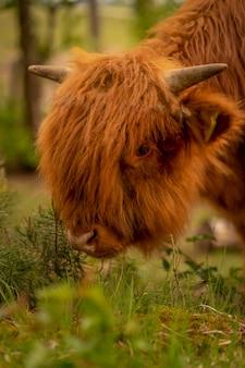 Scottish highland vacas en el pasto.