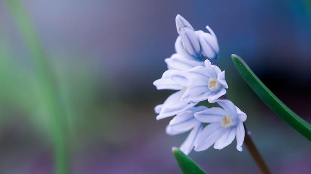 Scylla siberian closeup. pequeñas flores azules. snowdrops blanco-azul.