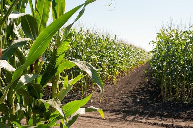 Sectores de demostración de campos de maíz de cultivos agrícolas