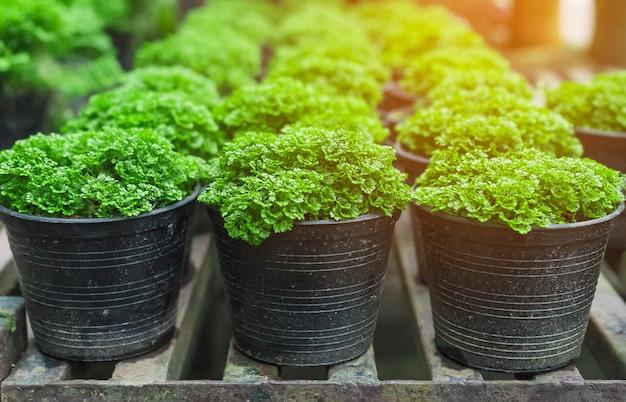 Selaginella verde