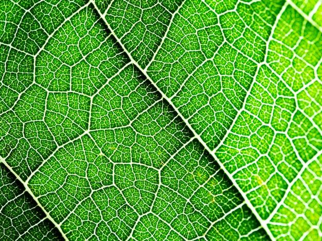 Seleccione el foco de la textura de la hoja verde macro. útil como fondo.