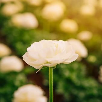 Selectivo enfocado de flor de ranunculus blanco.