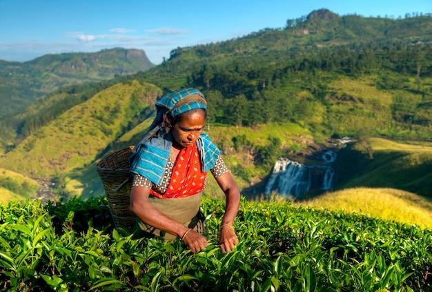 Selector de té en una plantación en sri lanka