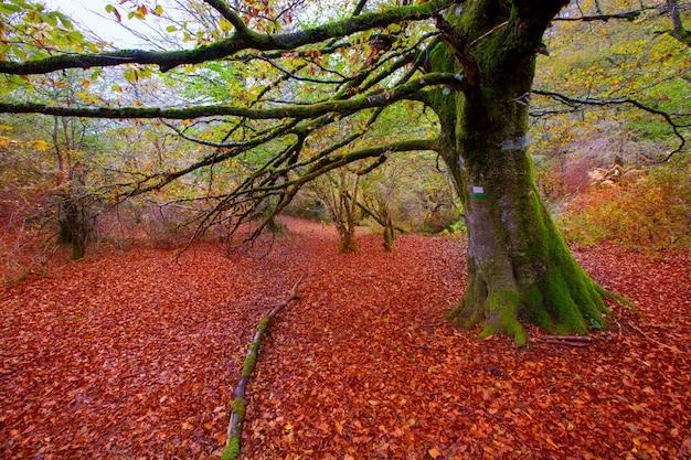Selva de irati de otoño, selva de hayas en navarra pirineos, españa