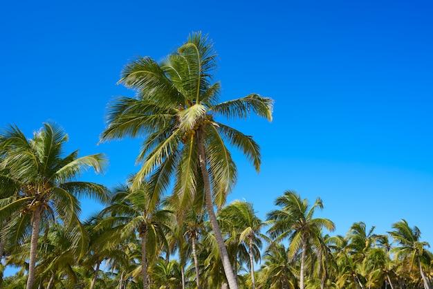 Selva de palmeras de tulum en la playa de la riviera maya
