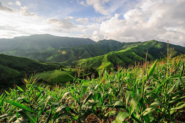 Selva tropical reemplazada por plantación de maíz: problema ambiental de deforestación en nan