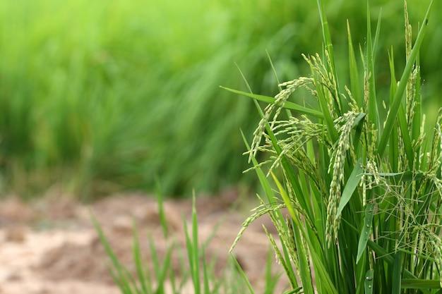 Semilla de arroz en el campo de maíz verde y el fondo del suelo en tailandia