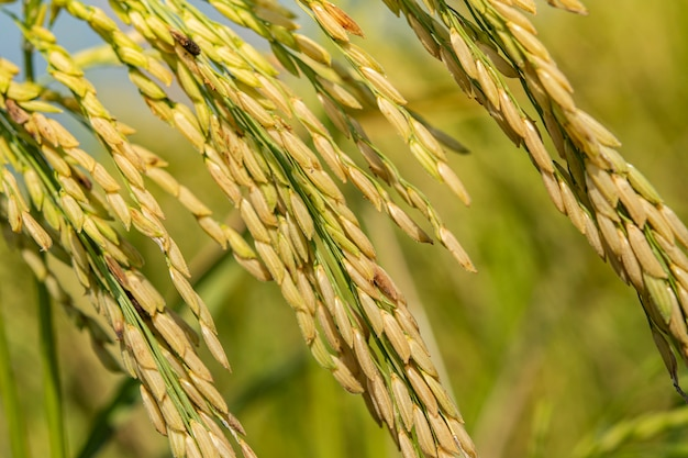 Semilla de arroz madura en el campo. semillas de arroz maduras y hojas verdes en campo de arroz con luz cálida suave en la mañana