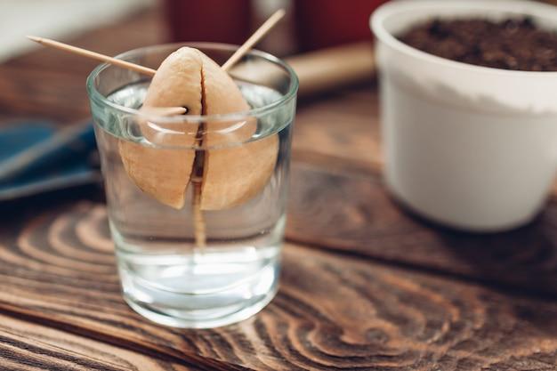 Las semillas de aguacate con brotes crecen en un vaso con agua con palillos de dientes.