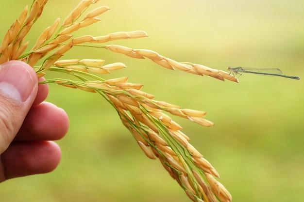 Semillas de arroz con cáscara sobre un fondo verde
