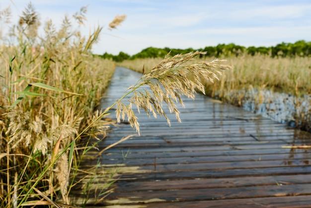 Semillas de caña que sobresalen de un lago inundado junto a una pasarela de madera flotante en el parque natural de la albufera de valencia, españa.