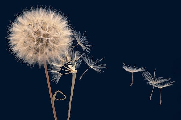 Las semillas de diente de león vuelan de una flor