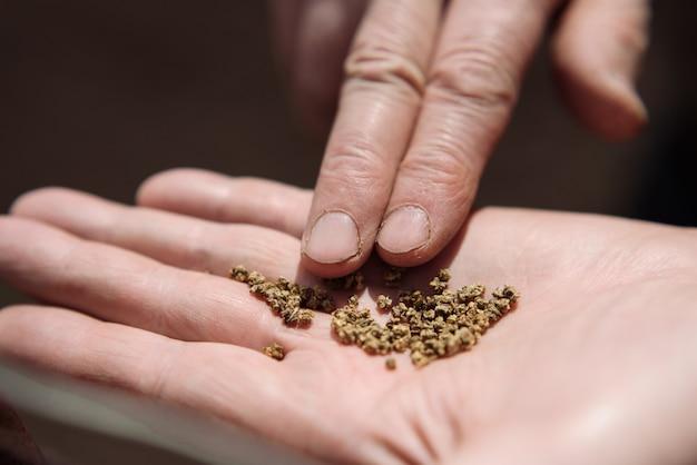 Semillas de remolacha en la palma de una persona mayor