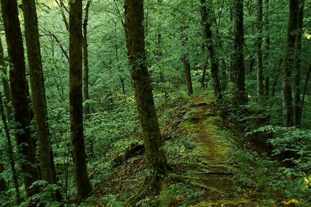 Sendero del bosque mágico a la luz del día luz de la mañana. día de verano.