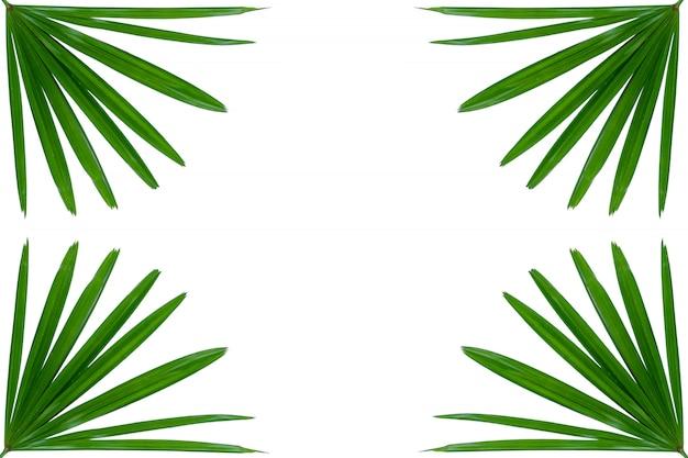 Señora verde hoja de palma de cerca aislado en blanco