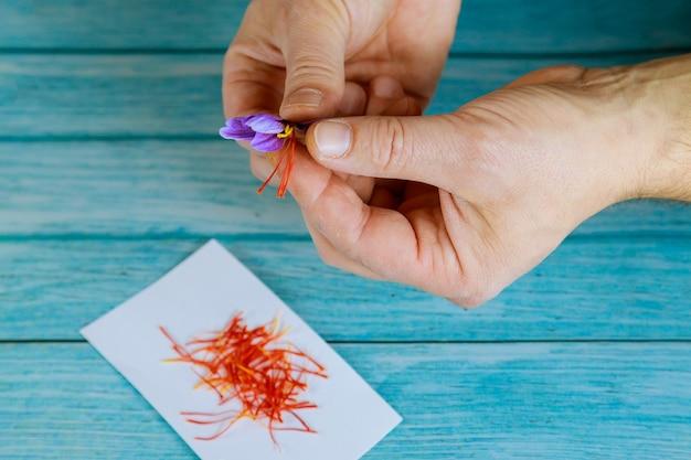 Separación de estambres de una flor de azafrán. haciendo especias.