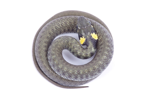 Serpiente aislada sobre fondo blanco