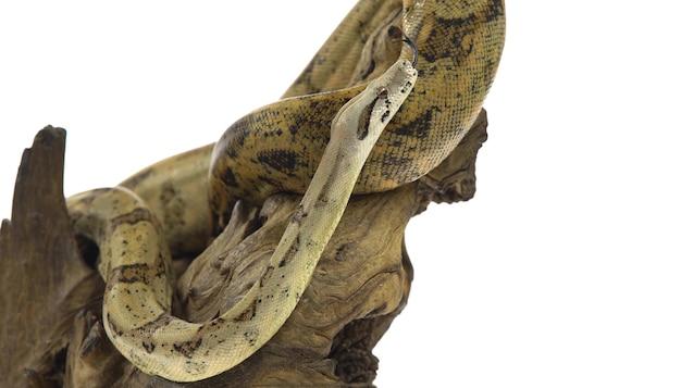 Una serpiente arrastrándose por un árbol.