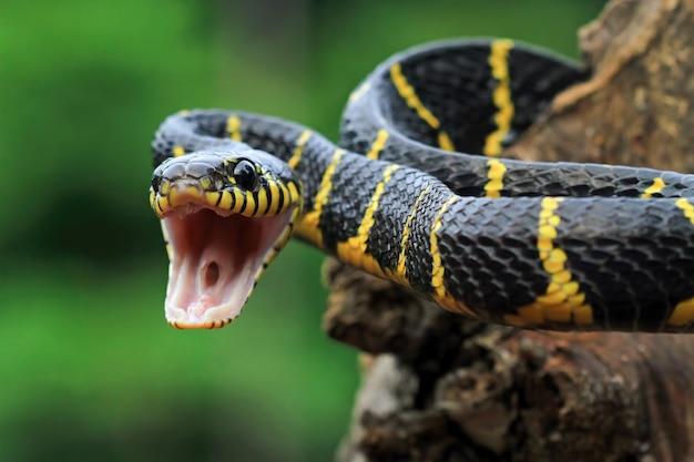 Serpiente boiga dendrophila anillada amarilla