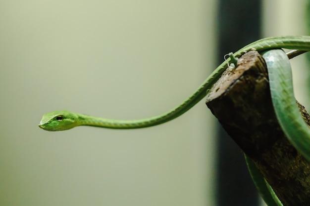 La serpiente de látigo de nariz larga es una especie de serpiente venenosa que vive la mayor parte de la vida del árbol
