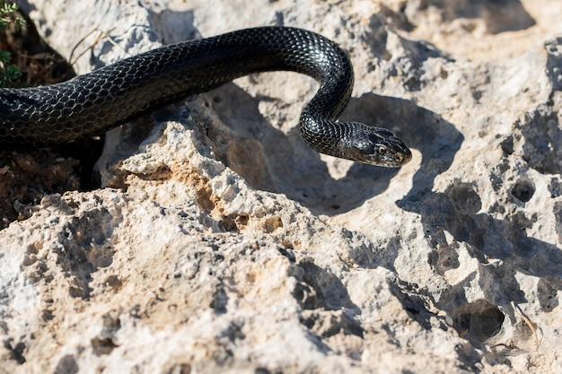 Serpiente látigo occidental negra, hierophis viridiflavus, deslizándose sobre rocas y vegetación seca en malta