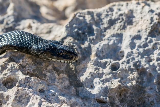 Serpiente látigo occidental negra, hierophis viridiflavus, en malta
