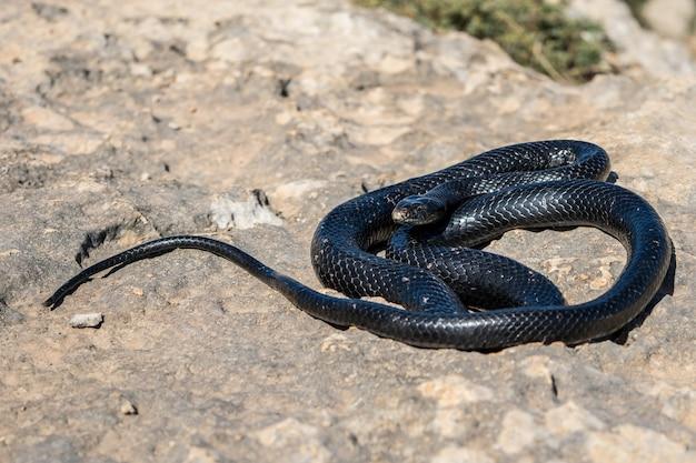 Serpiente látigo occidental negro tomando el sol en un acantilado rocoso en malta