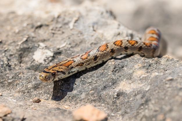 Una serpiente leopardo adulta o europea ratsnake, zamenis situla, deslizándose sobre las rocas en malta