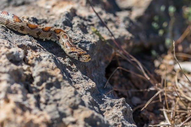 Serpiente leopardo o serpiente rata europea, zamenis situla, deslizándose sobre rocas y vegetación seca en malta