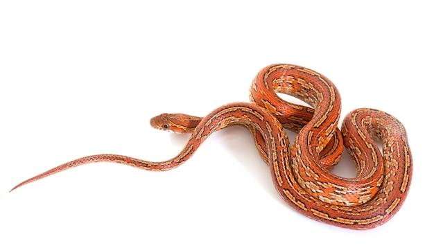 Serpiente de maíz aislada